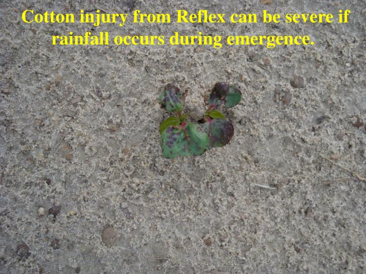 Cotton injury from Reflex can be severe if rainfall occurs during emergence.