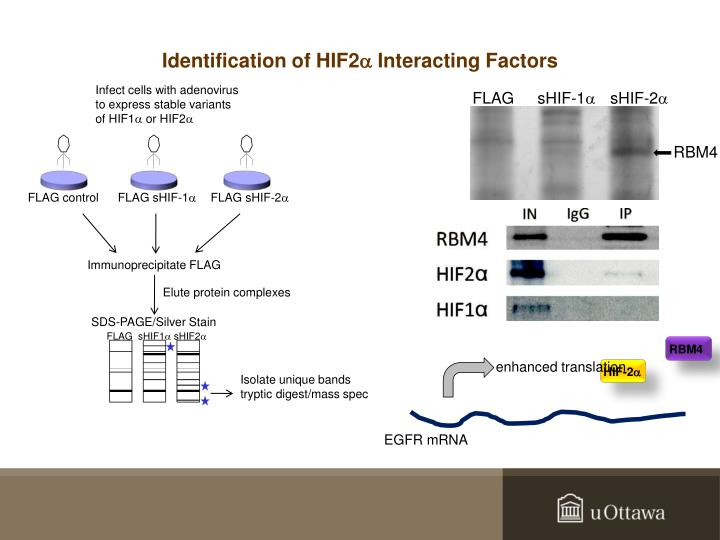 Identification of HIF2