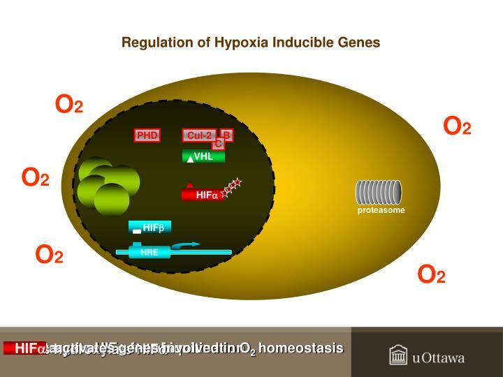 Regulation of hypoxia inducible genes