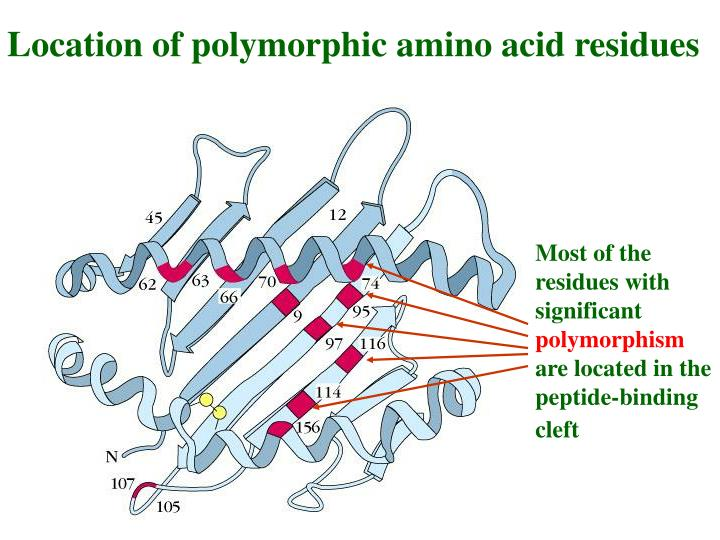 Location of polymorphic amino acid residues