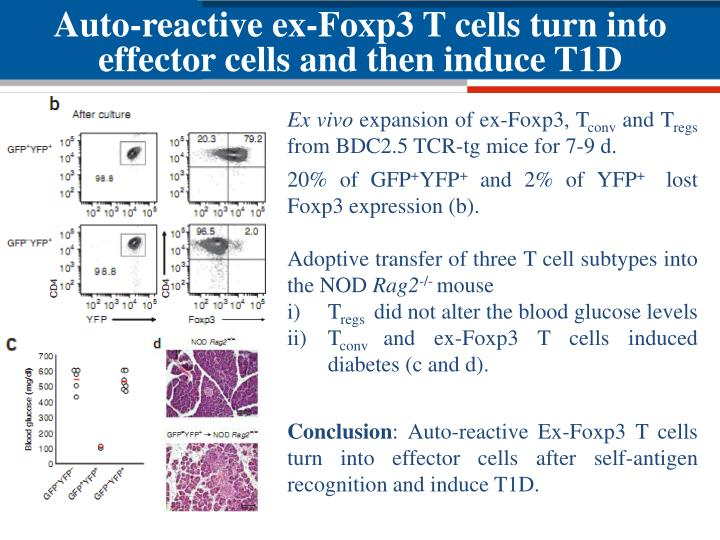 Auto-reactive ex-Foxp3 T cells turn into effector cells and then induce T1D