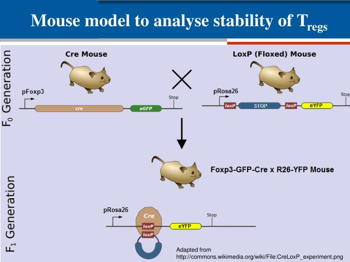 Mouse model to analyse stability of T