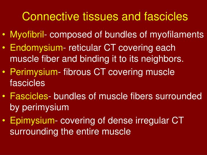 Connective tissues and fascicles