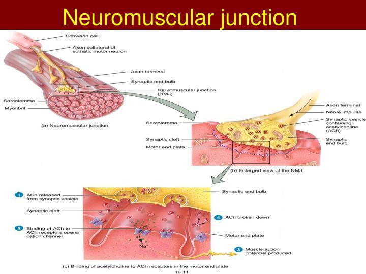Neuromuscular junction