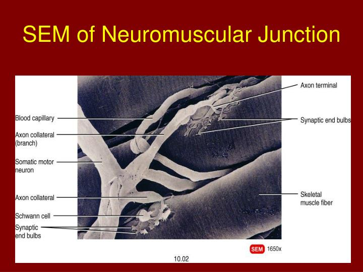 SEM of Neuromuscular Junction