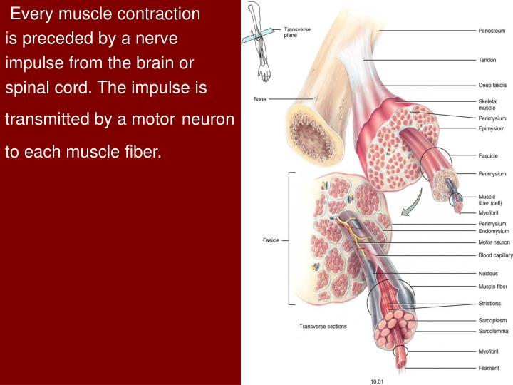 Every muscle contraction