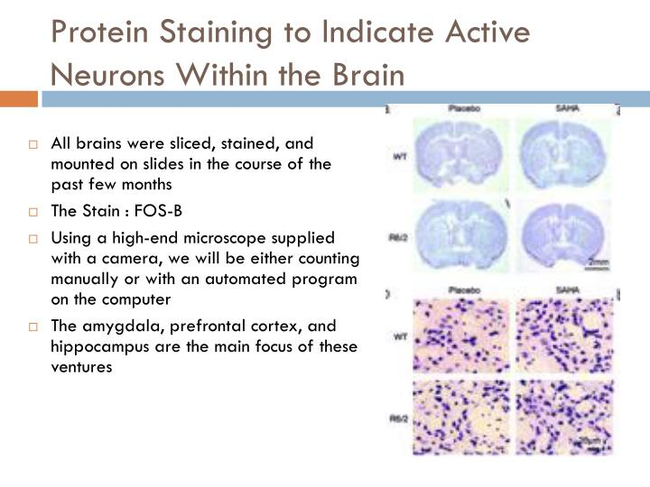 Protein Staining to Indicate Active Neurons Within the Brain