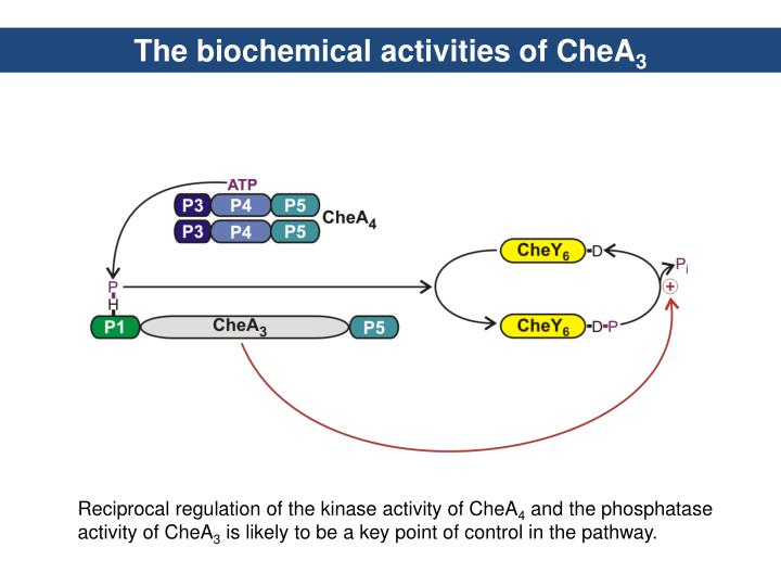 The biochemical activities of CheA