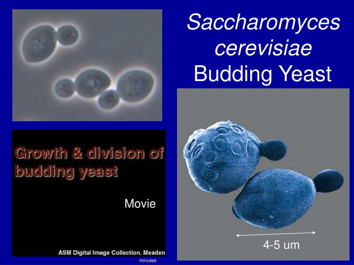 Saccharomyces cerevisiae budding