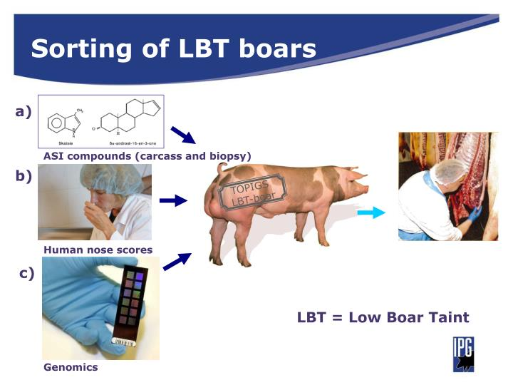 Sorting of LBT boars