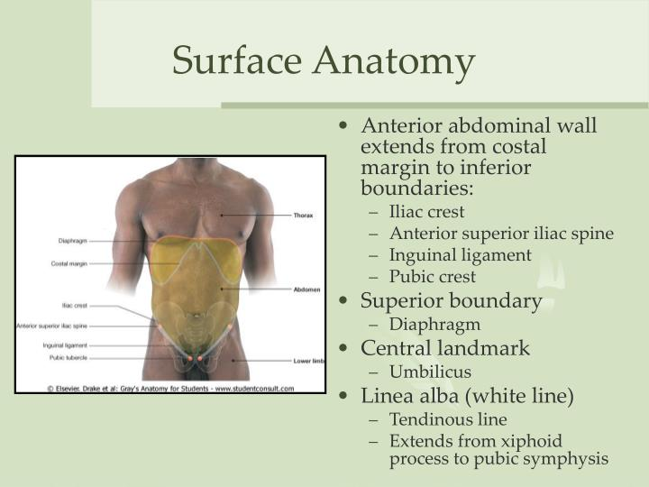 Surface Marking Of Abdomen Clinical Aspect Of Anterior Abdominal