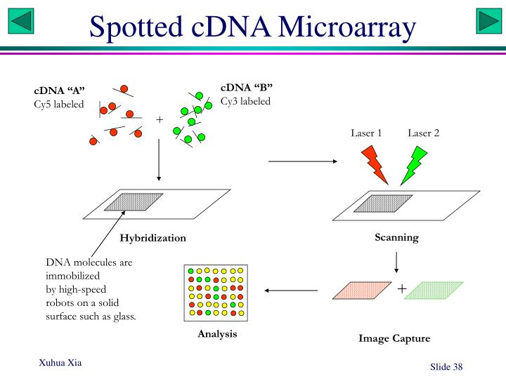 Spotted cDNA Microarray