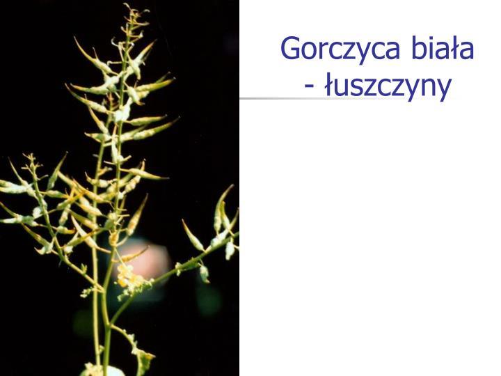 Gorczyca biała - łuszczyny