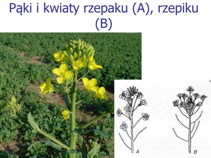 Pąki i kwiaty rzepaku (A), rzepiku (B)
