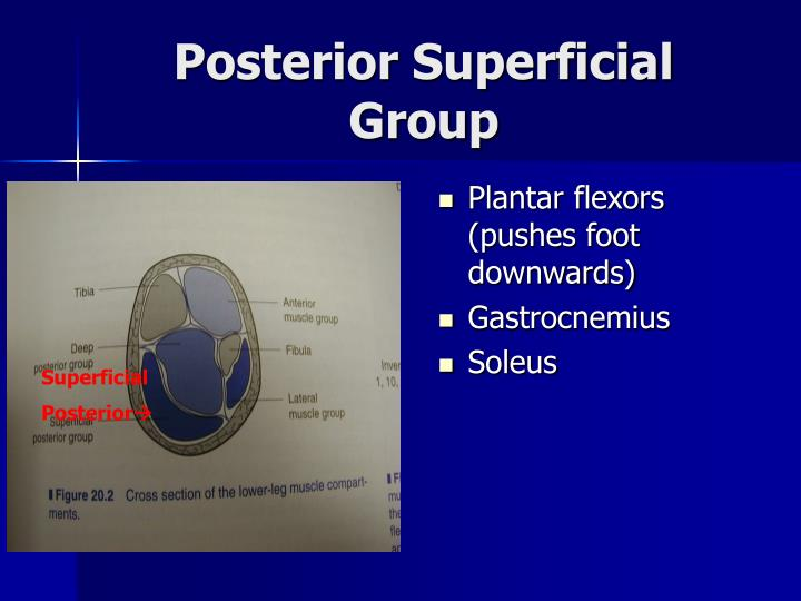 Posterior Superficial Group