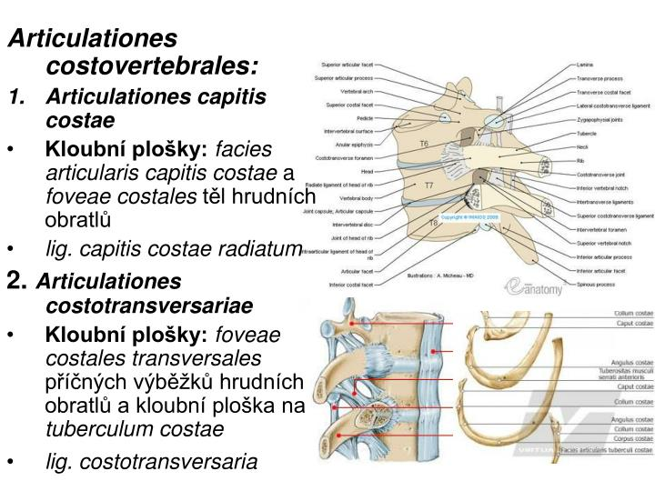 Articulationes costovertebrales: