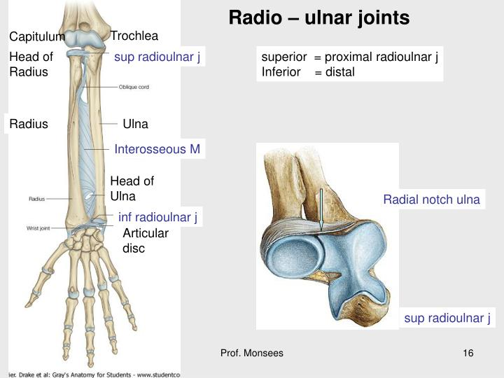 Radio – ulnar joints