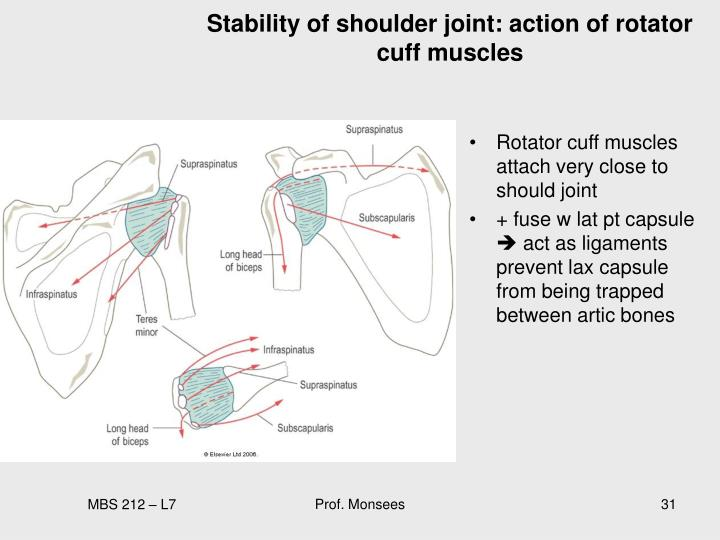 Stability of shoulder joint: action of rotator cuff muscles