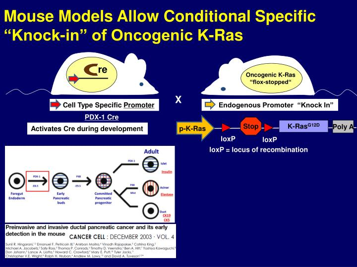 "Mouse Models Allow Conditional Specific ""Knock-in"" of Oncogenic K-Ras"