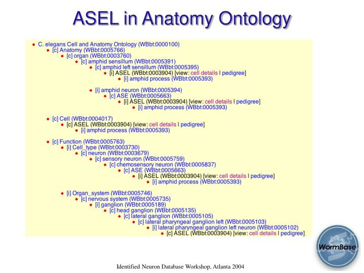 ASEL in Anatomy Ontology