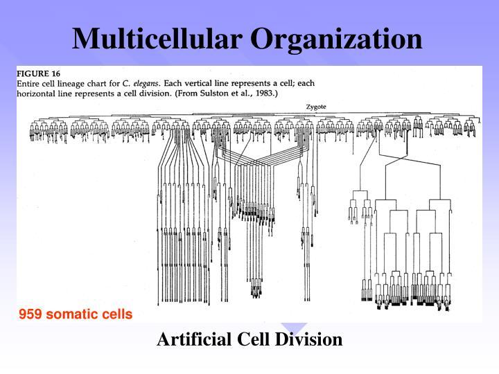 Multicellular Organization
