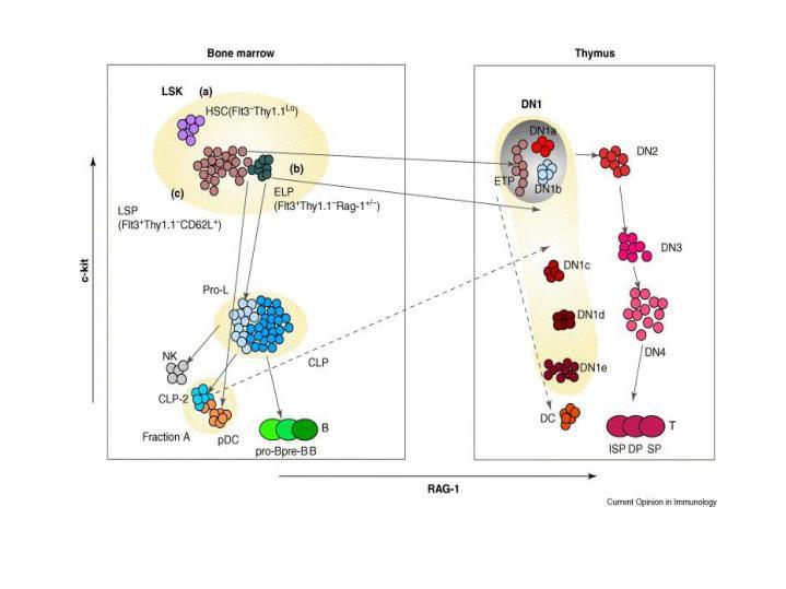 Table 1 properties of primitive lymphoid progenitors