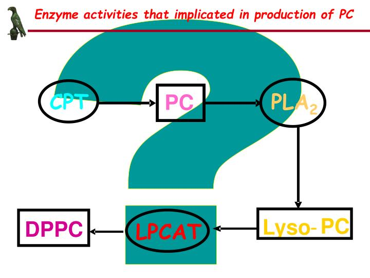 Enzyme activities that implicated in production of PC