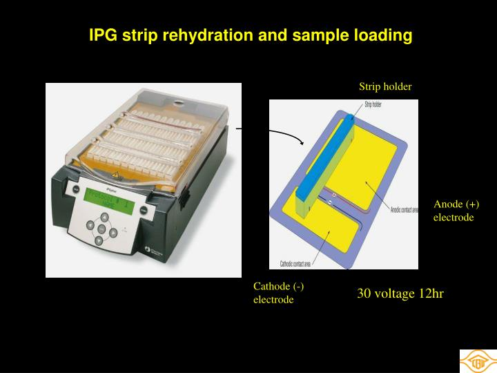 IPG strip rehydration and sample loading