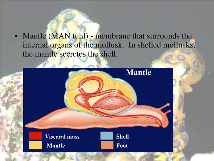 Mantle (MAN tuhl) - membrane that surrounds the internal organs of the mollusk.  In shelled mollusks, the mantle secretes the shell.
