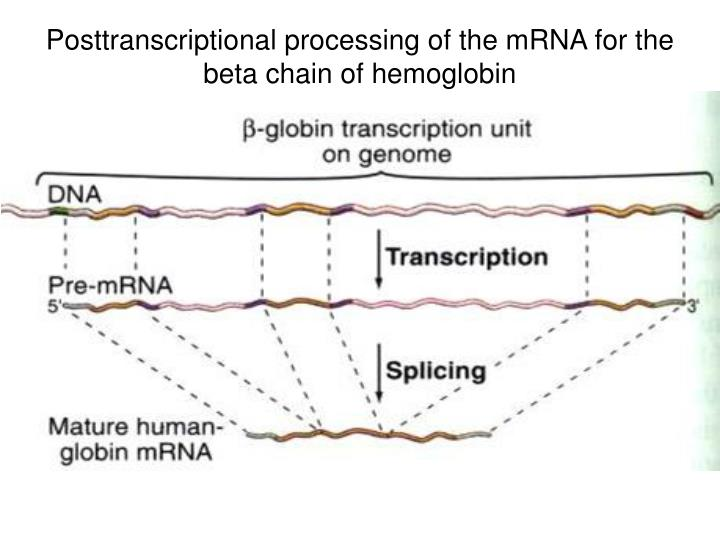 Posttranscriptional processing of the mRNA for the beta chain of hemoglobin