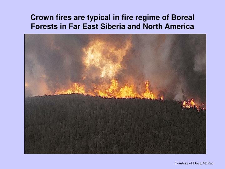 Crown fires are typical in fire regime of Boreal Forests in Far East Siberia and North America