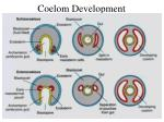 coelom development