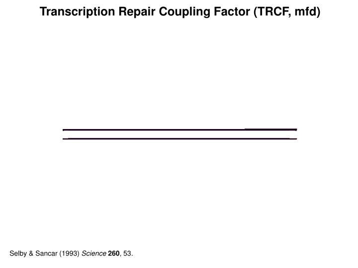 Transcription Repair Coupling Factor (TRCF, mfd)