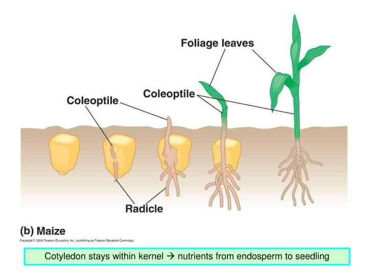 Cotyledon stays within kernel