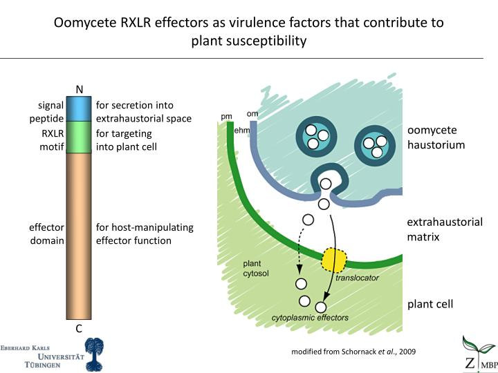 Oomycete RXLR effectors as virulence factors that contribute to plant susceptibility