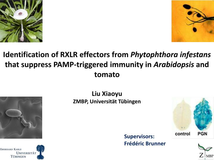 Identification of RXLR effectors from