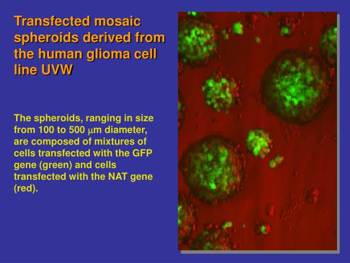 Transfected mosaic spheroids derived from the human glioma cell line UVW