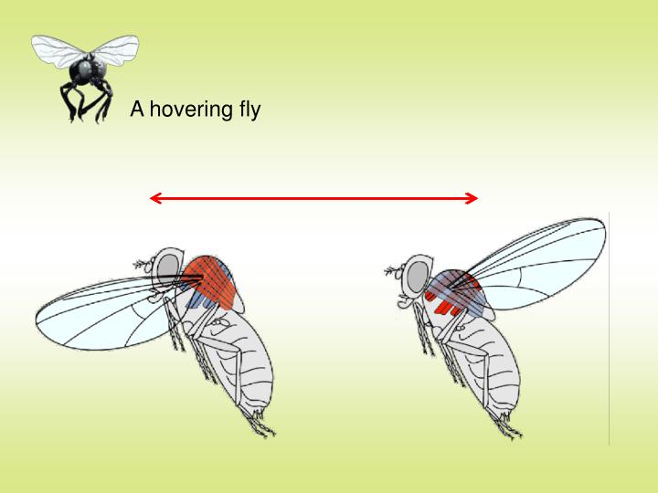 A hovering fly