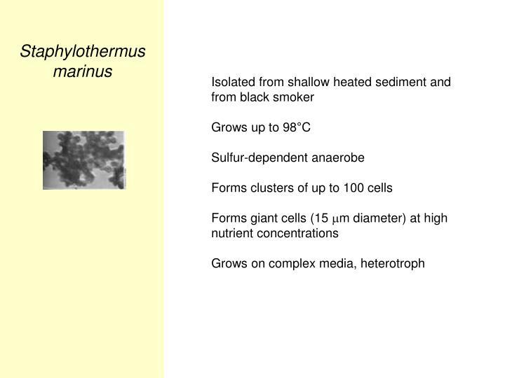 Staphylothermus marinus