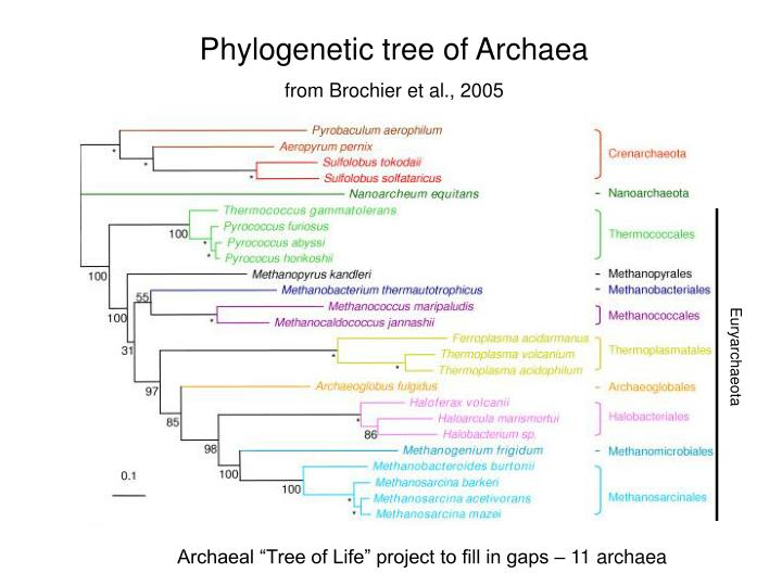 Phylogenetic tree of Archaea