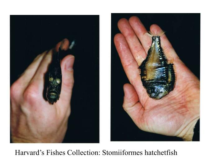 Harvard's Fishes Collection: Stomiiformes hatchetfish