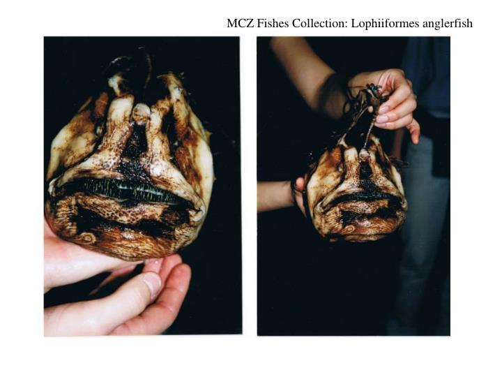 MCZ Fishes Collection: Lophiiformes anglerfish