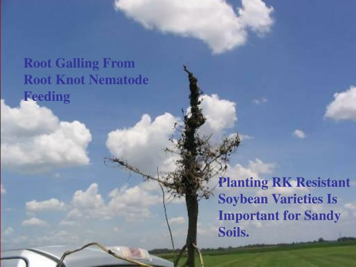 Root Galling From Root Knot Nematode Feeding