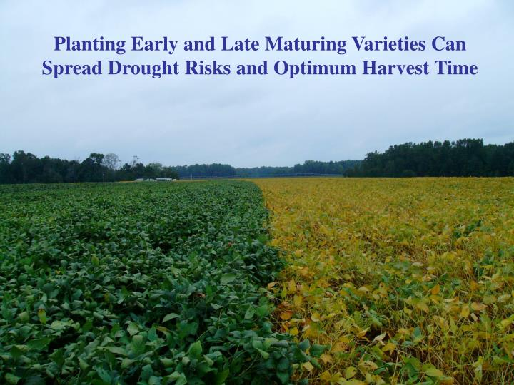 Planting Early and Late Maturing Varieties Can Spread Drought Risks and Optimum Harvest Time