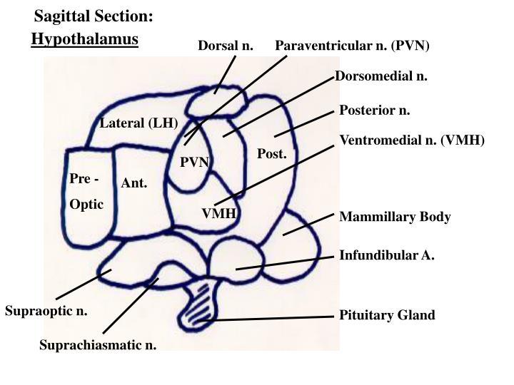 Sagittal Section: