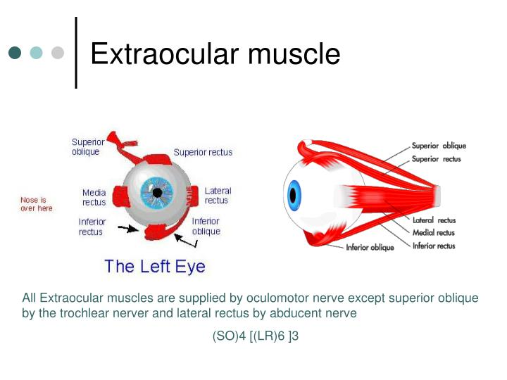 Extraocular muscle