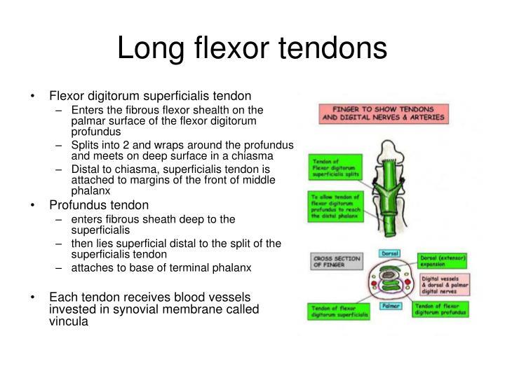 Long flexor tendons