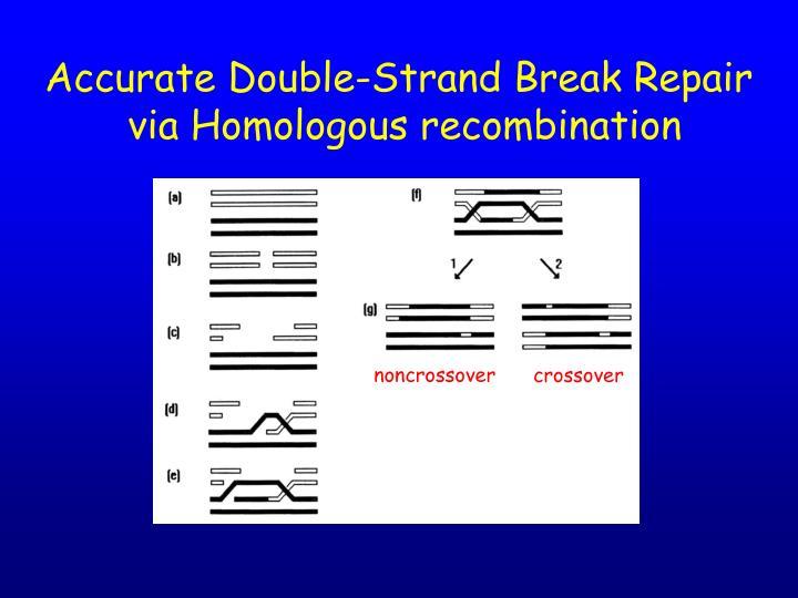 Accurate Double-Strand Break Repair