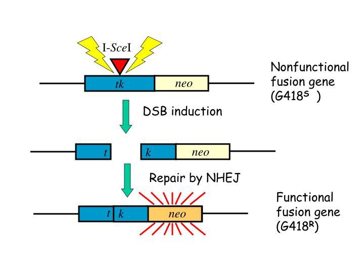 DSB induction