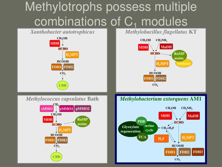 Methylotrophs possess multiple combinations of C